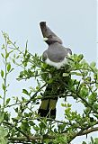 White-bellied Go-away-birdborder=