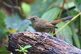 White-bellied Redstartborder=