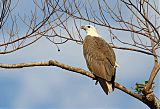 White-bellied Sea-Eagleborder=