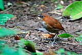 White-bellied Antpittaborder=