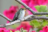 White-bellied Hummingbirdborder=