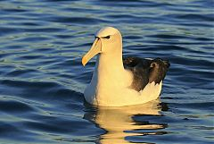 White-capped Albatross