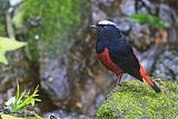White-capped Redstartborder=