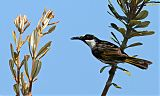 White-cheeked Honeyeaterborder=