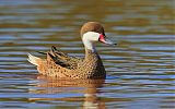 White-cheeked Pintail