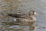 Greater White-fronted Gooseborder=
