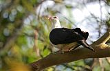 White-headed Pigeonborder=