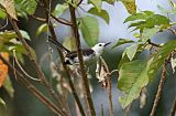 White-headed Wrenborder=