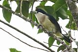 White-mantled Barbetborder=