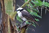 White-rumped Shrikeborder=