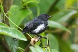 White-sided Flowerpiercerborder=