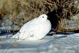White-tailed Ptarmiganborder=