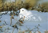 White-tailed Ptarmigan