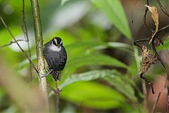 White-throated Antbird