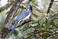 White-throated Magpie-Jayborder=