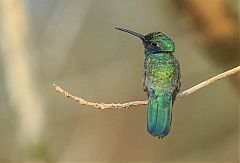 White-vented Violetear