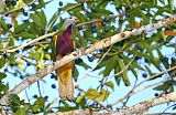 Wompoo Fruit-Dove