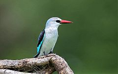 Woodland Kingfisher