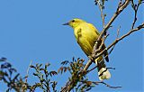Yellow Honeyeaterborder=