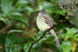 Yellow-bellied Elaeniaborder=