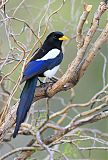 Yellow-billed Magpieborder=