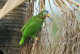 Yellow-billed Parrotborder=