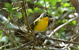 Yellow-breasted Chatborder=