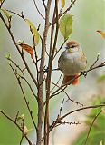 Yellow-chinned Spinetailborder=