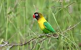 Yellow-collared Lovebirdborder=