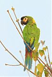 Yellow-collared Macawborder=