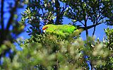 Yellow-crowned Parakeetborder=