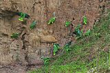 Yellow-crowned Parrotborder=
