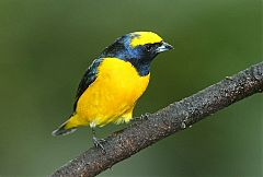 Yellow-crowned Euphonia