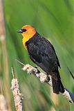 Yellow-headed Blackbirdborder=