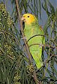 Yellow-headed Parrotborder=