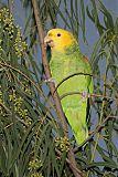 Yellow-headed Parrotborder=