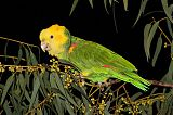 Yellow-headed Parrot