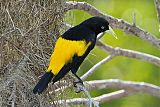 Yellow-rumped Caciqueborder=