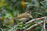 Yellow-spotted Honeyeaterborder=