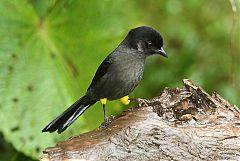 Yellow-thighed Brushfinch