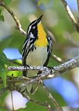 Yellow-throated Warblerborder=