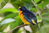 Yellow-throated Euphoniaborder=