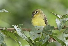 Yellow Tyrannulet