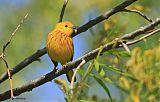Yellow Warblerborder=