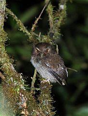 Long-whiskered Owlet