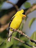 American Goldfinch (male in alternate plumage)