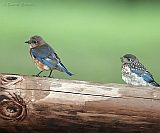 Eastern Bluebirds (adult female and fledgling)