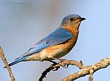 Eastern Bluebird (adult male)