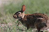 Eastern Cottontail with ear ticks
