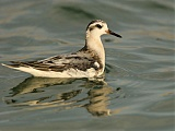 Red Phalarope in transition from juvenal to 1st basic plumage